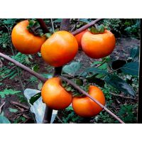 农商果业 柿子新品种 黑柿子苗