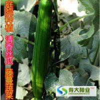阳台庭院爬藤蔬菜【丝瓜种子】香丝瓜适合庭院种植 约30粒袋装