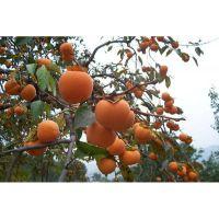 供应日本甜柿 可生吃 柿子苗 牛心柿子苗 果树果苗全国可种