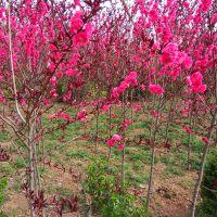 苗圃种植 供应优质紫叶桃 龙珠碧桃 量大优惠 树苗正 庭院植物工程绿化苗木