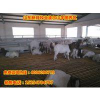 波尔山羊市场价格-30-50斤波尔山羊多少钱一只