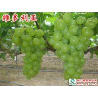 维多利亚葡萄 该品种是欧亚种中十分优良的早熟品种之一