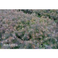 供应杉木树苗,当年苗、苗高10-20厘米、地径0.15-0.2