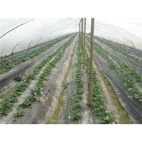 优质章姬草莓苗|怒江章姬草莓苗|世杰园艺场