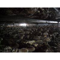 青岛香菇菌棒栽培技术