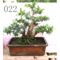 石榴古树盆景11