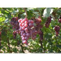 红提葡萄批发价格 陕西红提葡萄产地价格