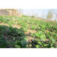 草莓苗批发价格_黑龙江草莓苗_润丰苗木(在线咨询)