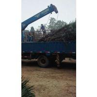 湖南浏阳绿化苗木棕榈