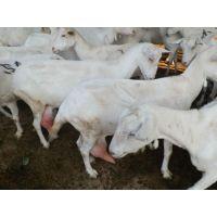 山东奶山羊养殖场