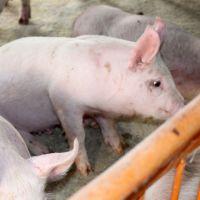 生猪 生态养殖生猪 三元猪 绿色健康食品