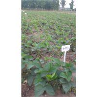 法兰地草莓苗直销、珠海法兰地草莓苗、泰安龙泽苗木(在线咨询)