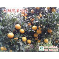 褚橙品种冰糖橙 供应大量冰糖橙优质柑橘苗