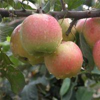栖霞苹果苗|苏州苹果苗|仁源农业科技