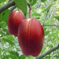 新品种梨树苗红梨 三红梨口感佳产量高 红梨品种与种植管理技术有哪些