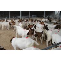 波尔山羊价格河南哪里适合养殖改良波尔山羊小羊羔的基地