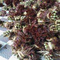 山东基地批发大棚香椿苗 矮化红油香椿苗批发价格 高产当年生种苗 脱毒无病害 高1米以上 粗0.8公分
