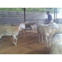 嘉祥明泰牧业 小尾寒羊的市场 鲁西黄牛价格