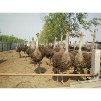 利和特种养殖场销售鸵鸟,鸵鸟价格低