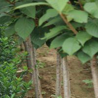出售樱花苗规格齐全 山东绿化树苗种植基地 1至5公分矮樱价格