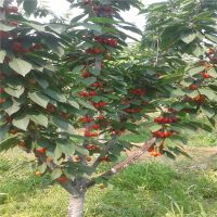 矮化樱桃苗品种矮化樱桃苗多少钱矮化樱桃哪里有