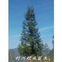基地直销米径8公分柳杉树苗