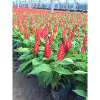 青州市向阳花卉苗木园艺场供应矮牵牛万寿菊天天开一串红波斯菊荷兰菊金鸡菊