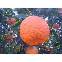 供应云南宾川优质丑橘,芦柑,不上火,岩溪晚六