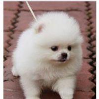 精品球体博美幼犬 买狗狗 选择专业繁殖的纯种品种