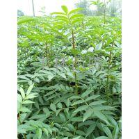 供应优质花椒苗 花椒苗种植技术 花椒苗品种