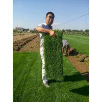 冷季型早熟禾草坪卷90*35、草坪销售、淄博草坪