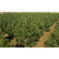 各种营养钵白皮松树苗、占地白皮松树苗价格、处理50公分到80公分白皮松
