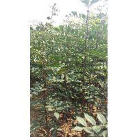 花椒苗经济效益如何 什么品种花椒苗效益高 大红袍 狮子头 九叶青