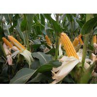 高产、稳产的玉米种子----万孚1