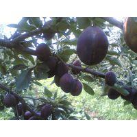 黑琥珀李子苗多少钱 低价出售黑琥珀李子苗