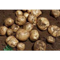 围场土豆13363881918专业代收克新系列荷兰十五系列土豆销售马铃薯价格行情