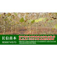6公分法桐树|法梧|法国梧桐价格