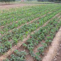 基地供应优质草莓苗 脱毒草莓苗 法兰地草莓苗