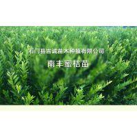 南丰蜜桔苗批发 1-2年生 品种纯正 品质优良 长势健壮 成活率高