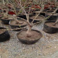 盆栽寿星桃苗培育基地,批发适合做盆景的寿星桃苗