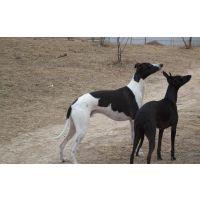 供应优质惠比特犬/幼年惠比特犬/种苗 养殖场价格