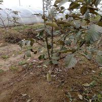 出售3至4公分嫁接核桃树 价格低廉的核桃树品种 核桃树苗种植基地