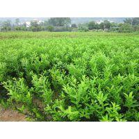 宜州哪里有优质柑桔苗买