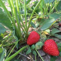 铜川章姬草莓苗|泰达园艺场|章姬草莓苗价格