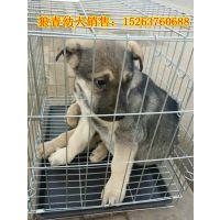 狼青犬养殖场-狼青犬多少钱一只,狼青犬幼犬价格