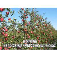 龙泽苗木(图)|苹果苗基地|苹果苗