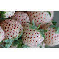 童子一号草莓苗大量批发
