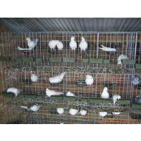 安平鸽子笼厂家,鸽笼报价95元/套,鸽子窝,镀锌13383380113李