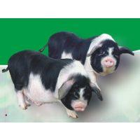 湖南宁乡优质仔猪肉肥而不腻欢迎采购