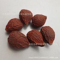 批发一级铁树种子 苏铁种子 当年新采 颗粒饱满质量保证 支持到付